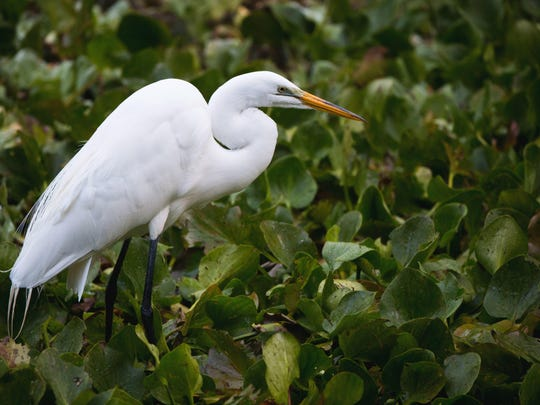 Great egret (Ardea alba):  Length: 35 to 41 inches.  Wingspan: up to 50 inches.  Look for: Pointed yellow bill, long neck, black legs and feet. Sometimes confused with juvenile great blue herons, which larger and have green legs.