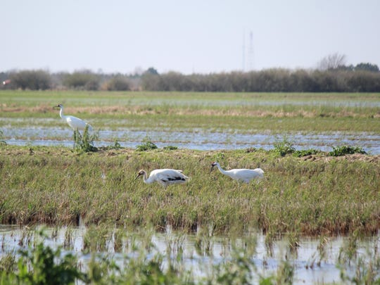 This Feb. 10, 2017, photo provided by the Louisiana Department of Wildlife and Fisheries shows the first whooping crane to hatch in Louisiana's wild since 1939 in Jefferson Davis Parish, Louisiana at center. The youngster, a female, turns 1 on April 11, 2017. She is on her own, since her parents drove her off so they could begin their second nesting season. The exact location is withheld to protect the endangered bird.