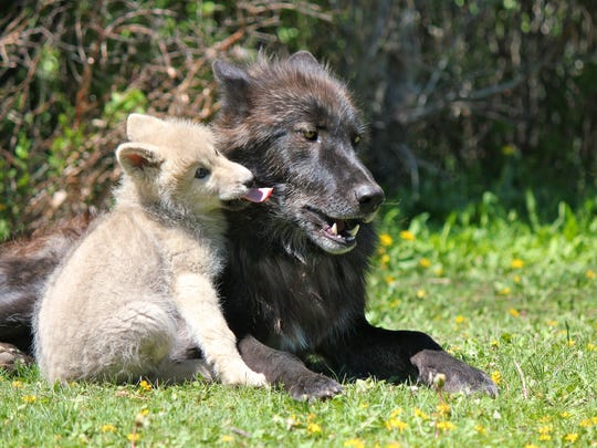 The Sanctuary currently has 18 permanent wolfdogs, 11 ambassador wolfdogs and any number of wolfdogs available for adoption