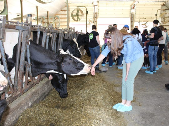 A woman gets a kiss from one of the milking cows at Conant's Riverside Farm.