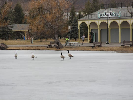 Geese and gulls take to the Eldridge Lake ice Tuesday morning in Elmira as Dwayne Harshberger of Elmira jogs in the background, accompanied by his son Heath on the bicycle.