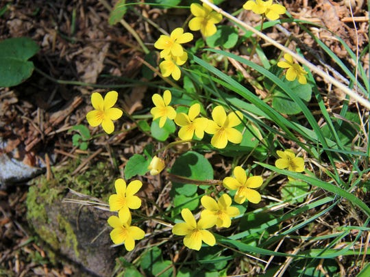 A few small wildflowers sprouted up through the ground along the Henline Mountain Trail in the Opal Creek Wilderness.