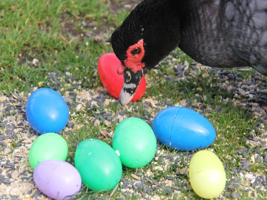 Some fowl even find an Easter treat at Scio's Lighthouse Farm Sanctuary.