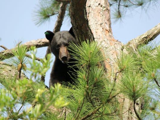 AP BEAR RETURNS A USA FL