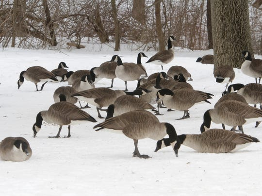 Canada geese are seen huddling in the snow at the Willow Tree Park in Monsey. Wildlife rehabilitator Marilyn Leybra says this brutal winter has been especially hard on wildlife.