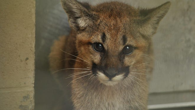 One of the Alexandria Zoo's two new cougar kittens.