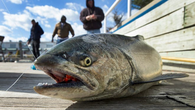 A freshly caught Chinook salmon caught by Wendy Morris flops around on the dock in Port Washington.