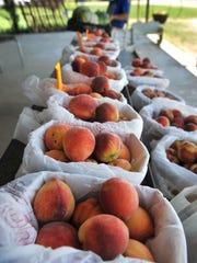 Peaches await peach cobbler aficionados at Morath Orchard