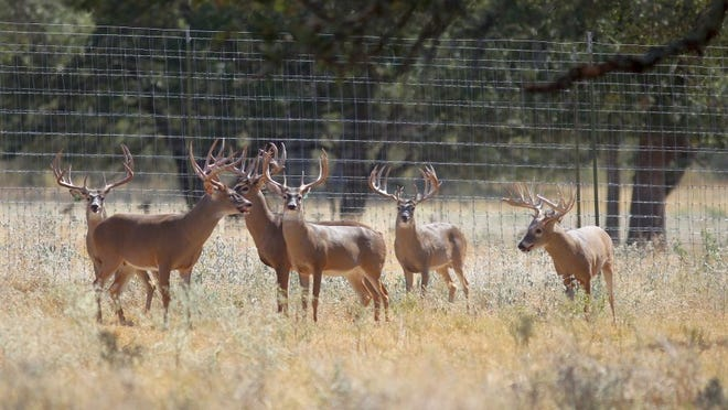 DAVID SIKES/CALLER-TIMES Texas Parks & Wildlife this week adopted tight restrictions on captive deer throughout the state, but mostly at breeder facilities with a connection to chronic wasting disease, a fatal contagious condition that does not affect humans.