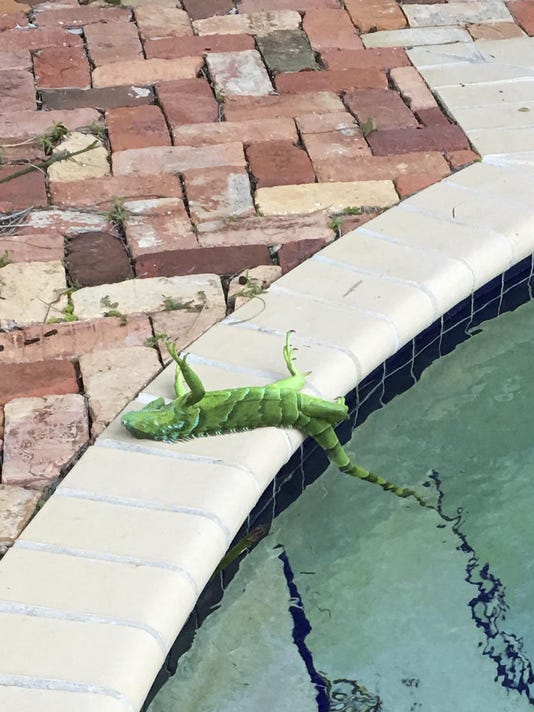Florida Frozen Iguanas