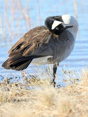 """A Canadian goose gives Tremblay """"the eye"""" after his landing from a """"V-formation"""" in the sky. This bird is banded on his leg."""