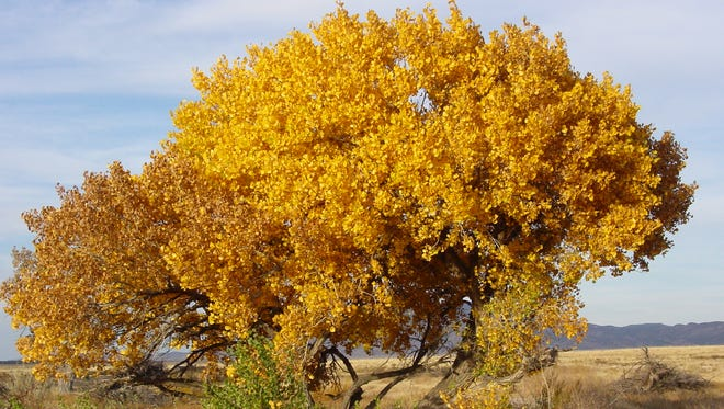 A single cottonwood tree, gone bright yellow in the season, its leaves and branches framing a deep blue sky, looms above the gently waving prairie grass trimmed in muted shades of beige and rust.