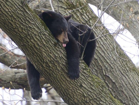 A black bear sleeps in a tree in the backyard of a