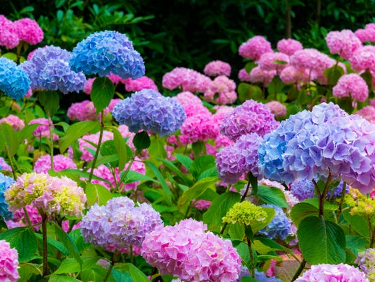 Purple and Pink Hydrangea Flowers