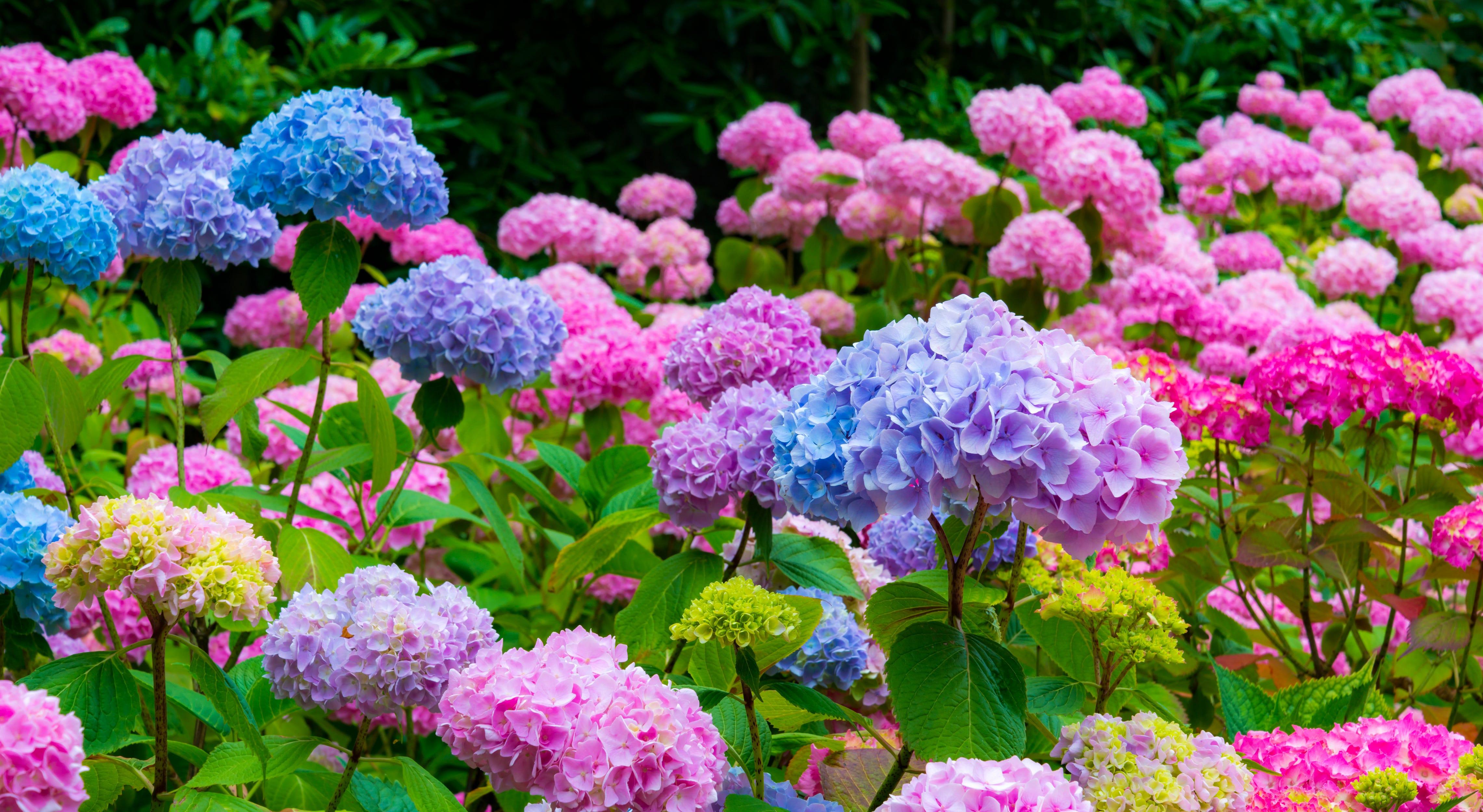Purple And Pink Hydrangea Flowers