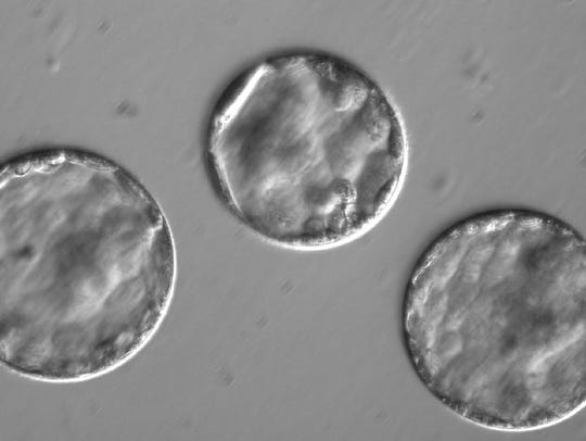 This image shows embryos after co-injection developing