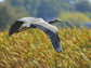 A great blue heron flies near Two Rivers in the fall of 2013.