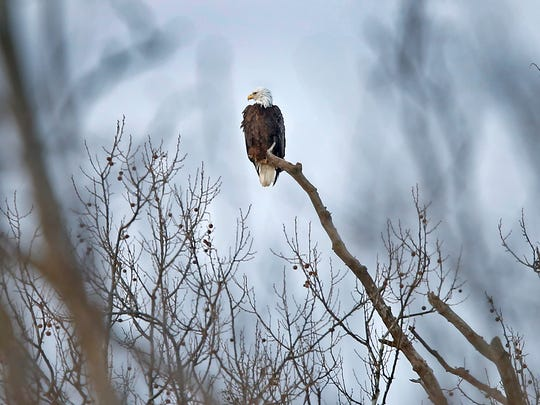 A bald eagle sits majestically atop a tree on the north side of Thatcher Golf Course, Tuesday, February 14, 2017. Thatcher claims to have two eagles, Ben and Babe with a giant nest. The two mature bald eagles have nested at the golf course since 2014.