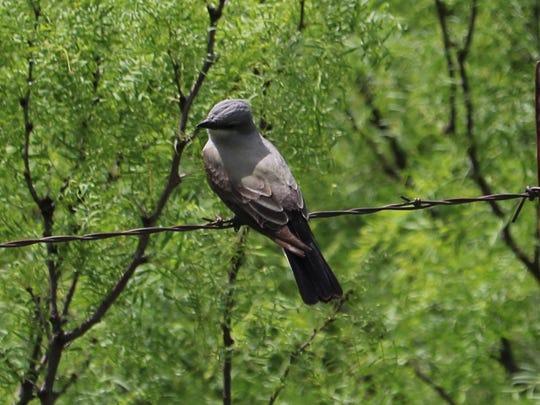 Kingbird resting along the Wichita Valley Rail Trail.