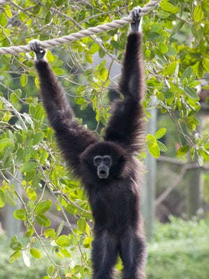 Sumba, a 20-pound white-handed gibbon, is believed to have drowned at the Naples Zoo.