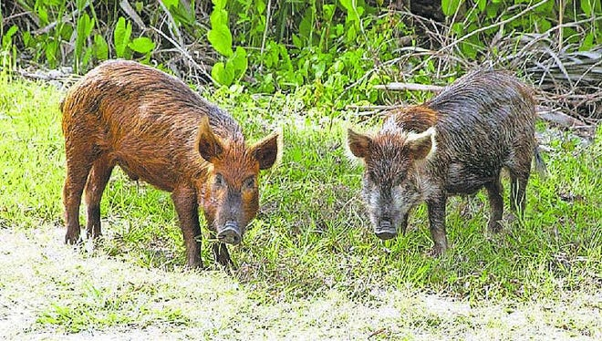Feral hogs are contaminating water bodies between Alexandria and Natchitoches, according to a new study.