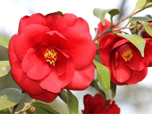 The camelia is Alabama's state flower and is also known