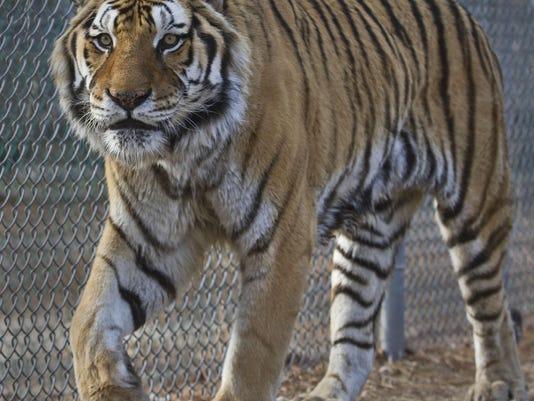 Popcorn Park Zoo tiger Doug Hood