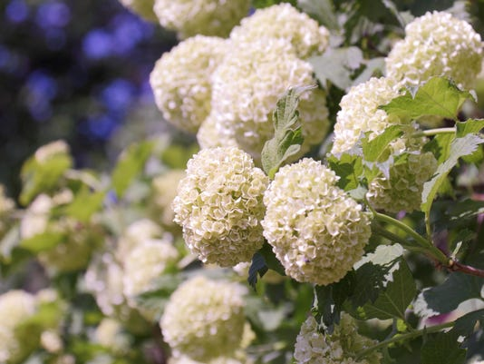 Common snowball (Viburnum opulus) flowers in spring