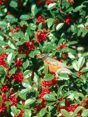 Robin feeding on holly berriesjpg