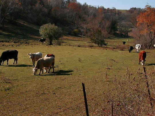 Worried about the herd: Cattle graze in a field along