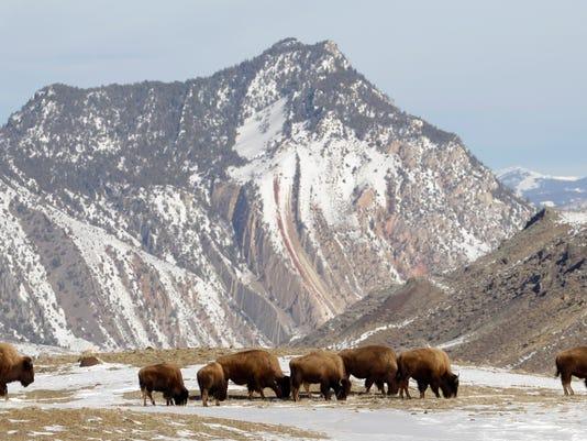 -Yellowstone Bison Sla_Uda.jpg_20110215.jpg
