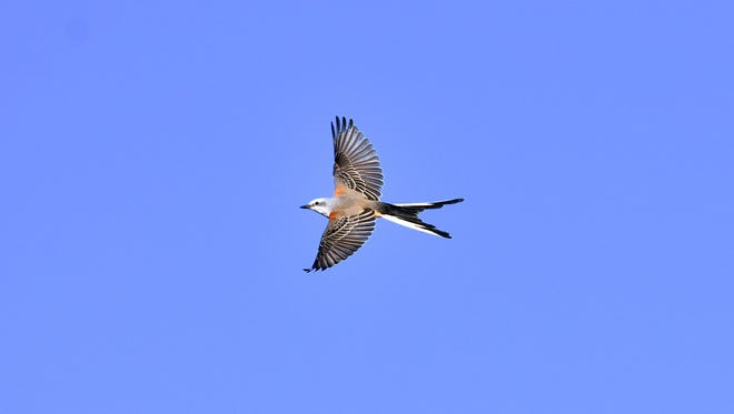 A picture of a scissor-tailed flycatcher was taken in Manitowoc by Joel Trick.