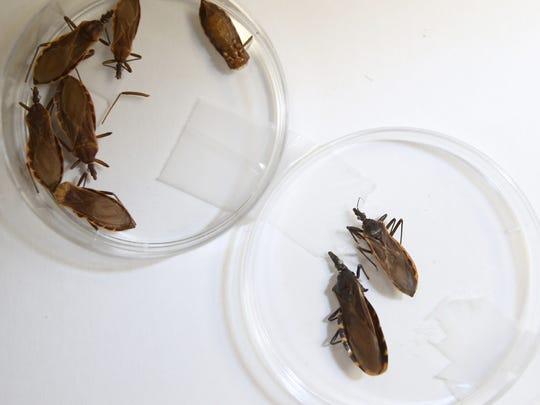 Chagas' disease is caused by the parasite Trypanosoma cruzi, which is transmitted to animals and people by insect vectors known as kissing bugs. The bugs, which are found in the El Paso area, are shown in lab dishes.