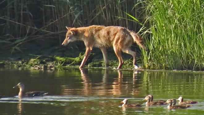 A lone coyote walks along a marsh edge shortly after sunrise at Harrier Meadow in DeKorte Park in Lyndhurst.