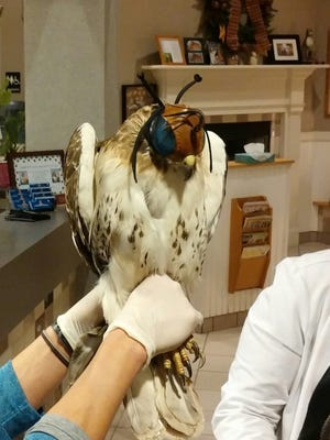 This photo was taken after a vet at Patton Veterinary Hospital removed an arrow from this red-tailed hawk's chest on Friday, April 8, 2016. (Photo courtesy of Mark Kocher)