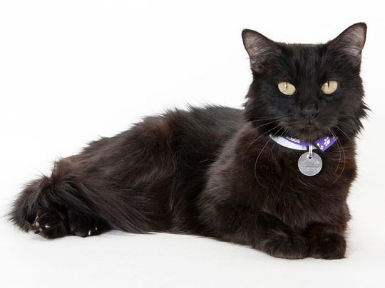 Mystic, 7-year-old female domestic long hair cat. No. 92631.