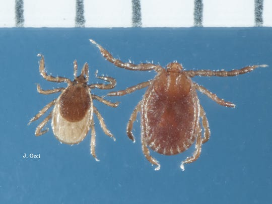 A common deer tick nymph (left) and the longhorned tick nymph (right) that was recently discovered in the U.S. The ruler is in millimeters.