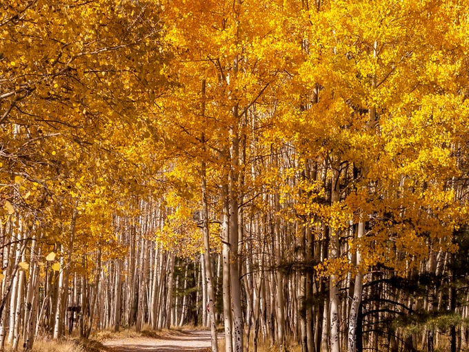 Aspens along Lockett Meadow north of Flagstaff in October.