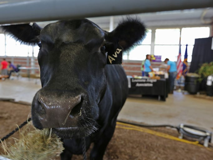 """""""Ava,"""" an Angus heifer, enjoys her lunch, during the National Junior Angus Show at the Indiana State Fairgrounds, Tuesday, July 8,  2014."""