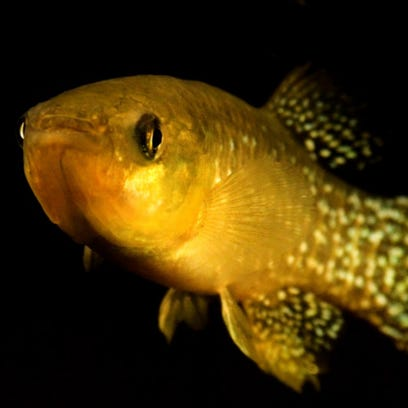 Killifish in Newark Bay and other polluted waters have