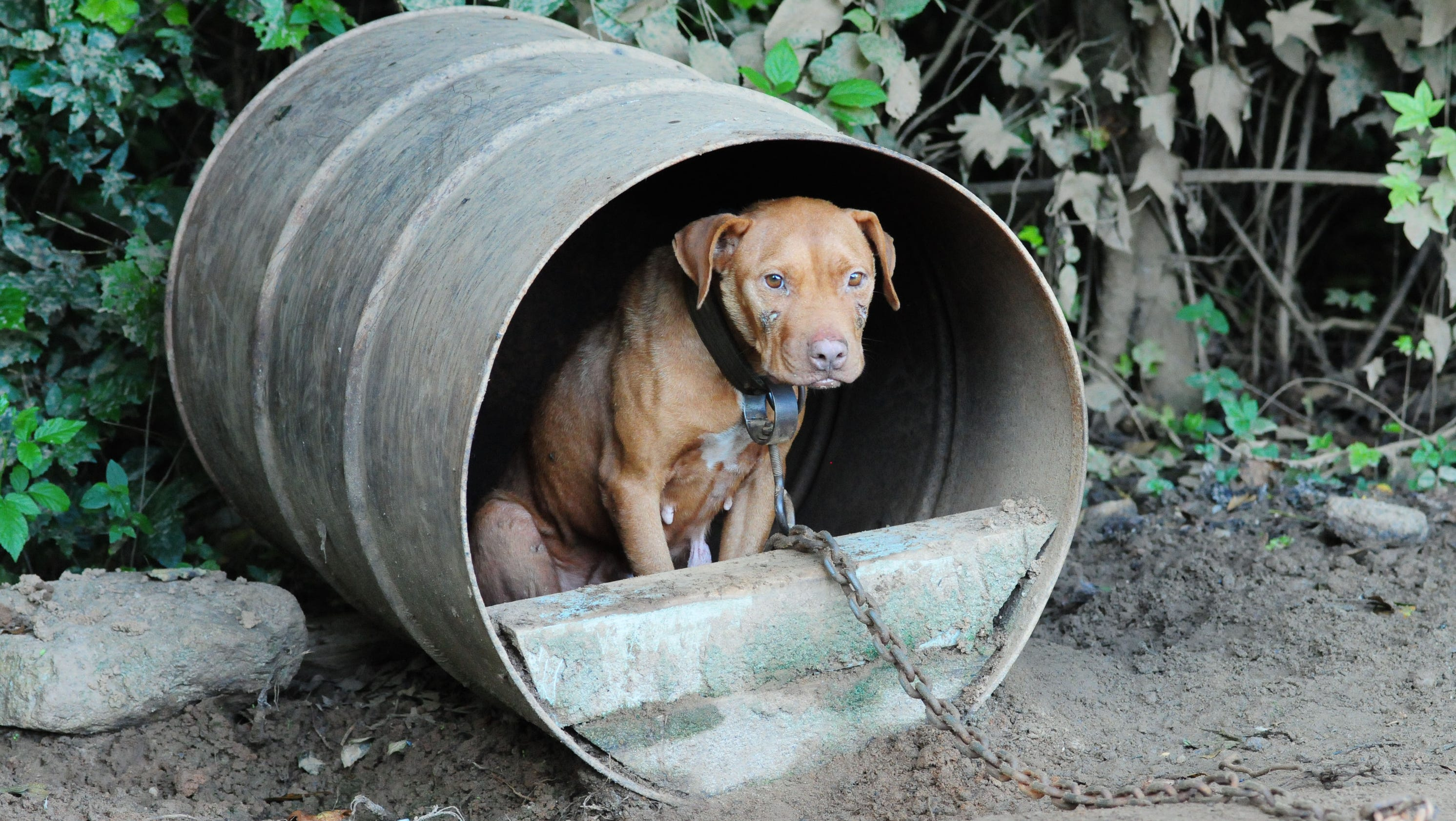 367 dogs rescued in raids of dog-fighting operations