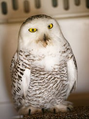 An extremely rare snowy owl that accidentally flew
