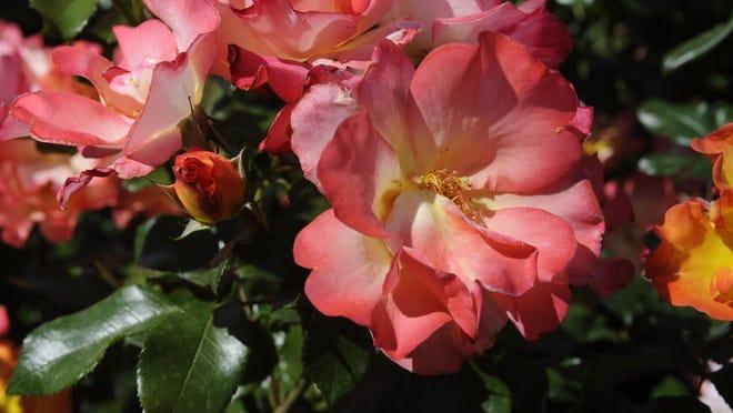 Roses bloom in Mimi Hoffman's front yard. Her gardens were on a Valley Oak Garden Club tour.
