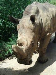 Ronnie the rhinoceros at the Jackson Zoo.