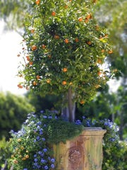 Dwarf citrus, especially Kumquats, are huge this season. The feature compact size with bright fruit color.