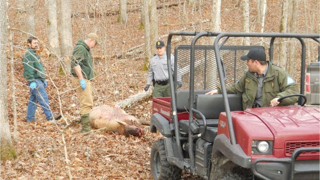Missouri Department of Conservation officials drag away the carcass of an elk poached Tuesday along the Current River in Shannon County.