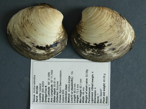 Ming, an ocean quahog from the species Arctica islandica, was initially thought to be a record-setting 402 years old. But the scientists who found it on a seabed near Iceland in 2006 now say further analysis has revealed that it was an incredible 507