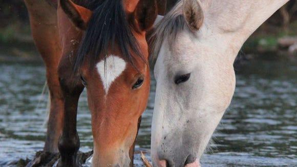 Wild horses on the Salt River.