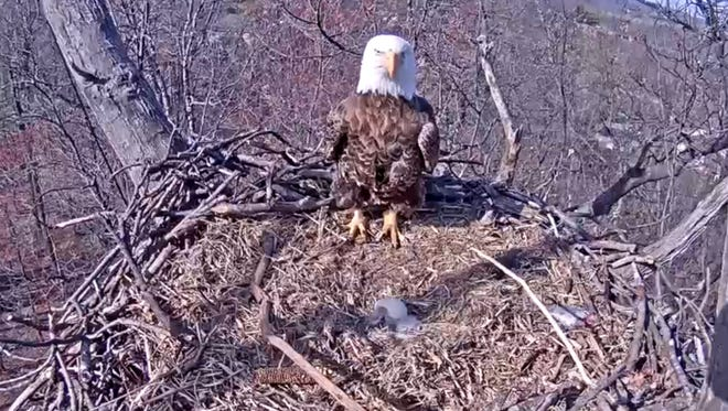 One of the Hanover eagles stands on the edge of the nest Wednesday, March 30, 2016. The Pennsylvania Game Commission announced today that the eaglet that was born on Monday appears to have died. It is in the center of the nest next to the second egg that has yet to hatch.
