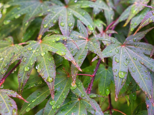 Part of the scientific name of Japanese maple is palmatum, which refers to the palm-like shape of its leaves.